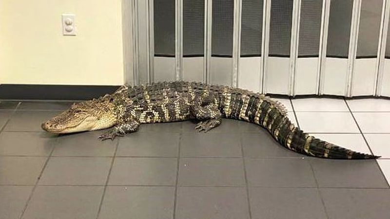 A patron spotted an alligator when going to the post office in Spring Hill, Florida, to mail a...