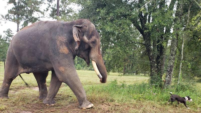 Staff at Elephant Refuge International say Bo, the Asian male elephant who arrived three weeks...