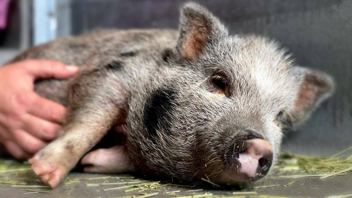 The City of Tallahassee Animal Service Center says they have rescued a pig who was living in a...