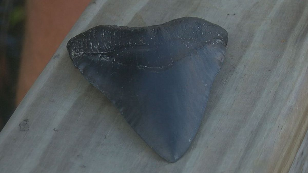 Suncoast local David Ousley finds a massive six-inch shark tooth on a weekly dive in Venice.
