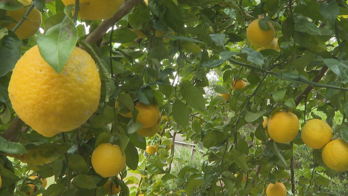 Random Acts is looking for volunteers to help pick fruit off the trees and donate them to local...