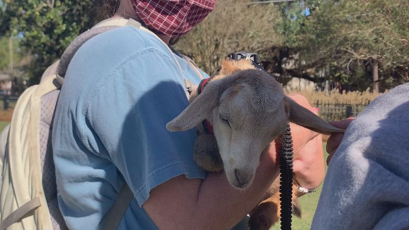 Valdosta State students pet goats as part of the school's 2020 Distress Fest.
