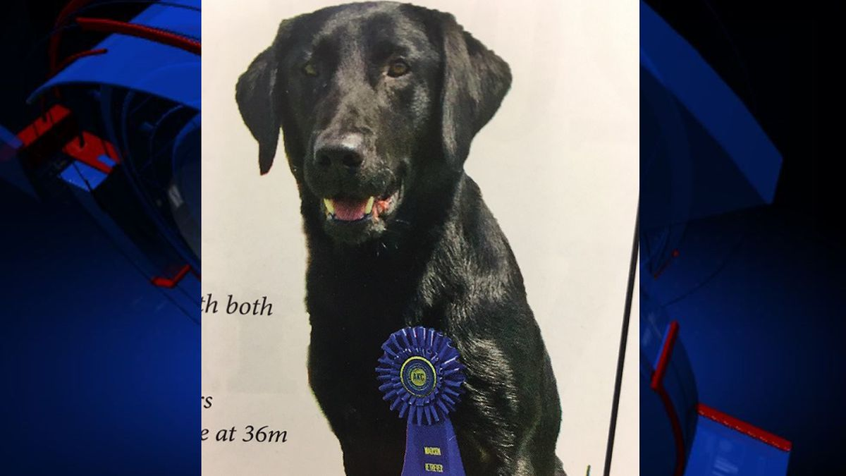 Deputies say Boss, a black labrador retriever, is a nationally-recognized championship for several field trials, hunt tests and retriever competitions.