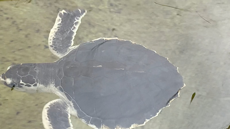 Kemp's Ridley Turtle's are the most endangered sea turtle species. Apalachee Bay is a common...
