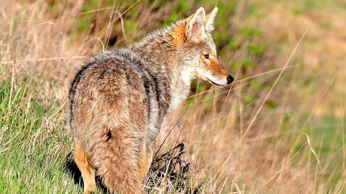 According to a FWC release, interactions with coyotes generally increase during the winter...