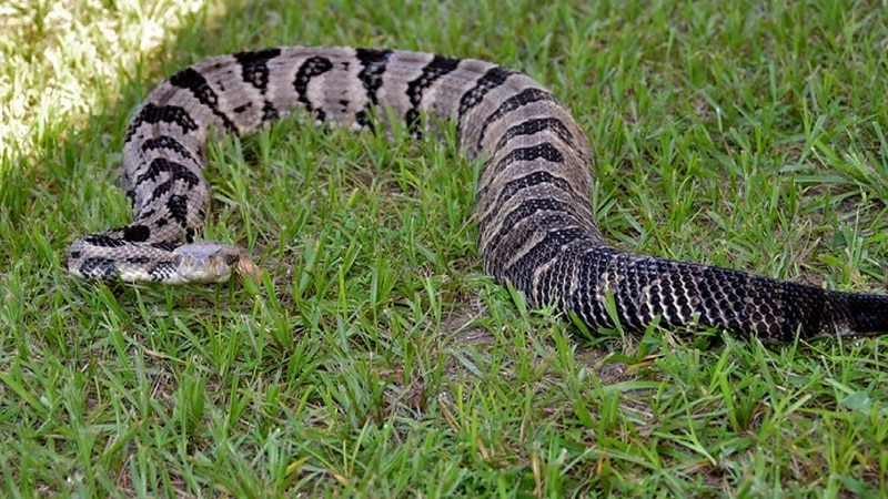 Florida is home to more than 40 snake species, and of those, only six are poisonous.
